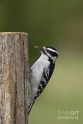 Picoides Pubescens Photograph - Downy Woodpecker by Linda Freshwaters Arndt