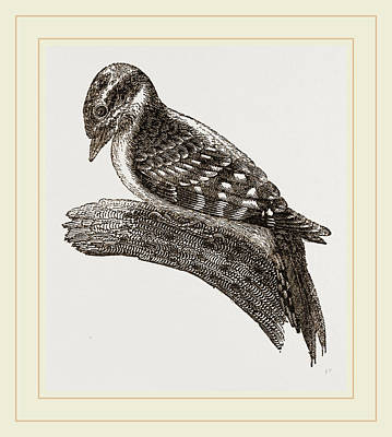 Woodpecker Drawing - Downy Woodpecker by Litz Collection