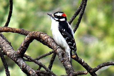 Photograph - Downy Woodpecker by Marilyn Burton