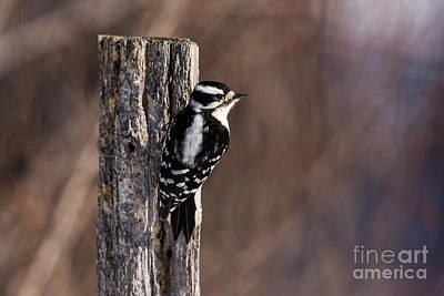 Picoides Pubescens Photograph - Downy Woodpecker Picoides Pubescens by Linda Freshwaters Arndt