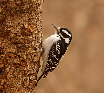 Downy Woodpecker Art Print by Sandy Keeton