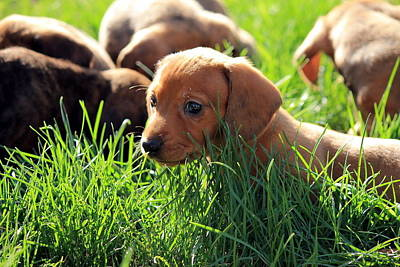 Doxies Art Print by Velvetdawn Custer