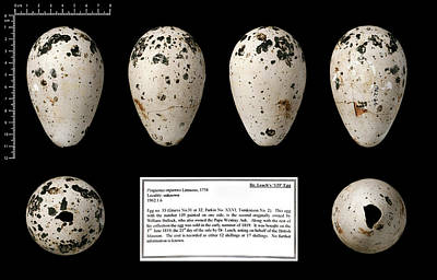 Dr Leach's '139' Great Auk Egg Art Print by Natural History Museum, London