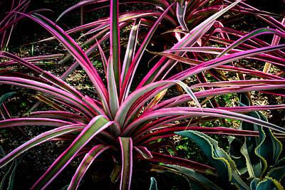 Photograph - Dracaena Marginata Colorama Singapore Plant by Donald Chen