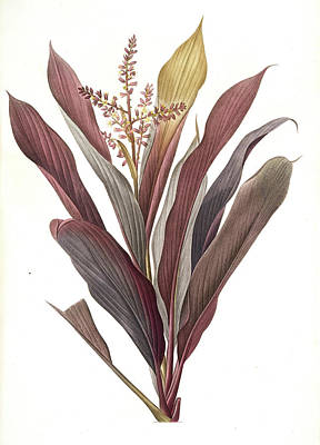Dracoena Terminalis, Cordyline Terminalis Dragonnier Art Print