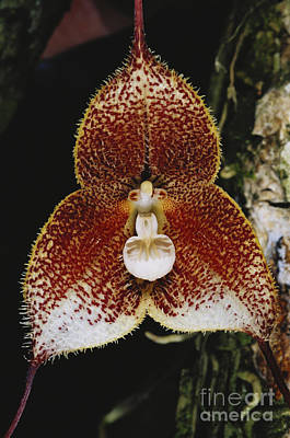 Epiphyte Photograph - Dracula Orchid by Gregory G. Dimijian, M.D.