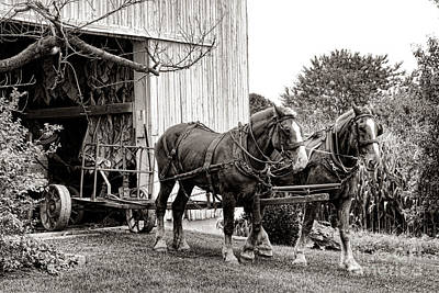 Photograph - Draft Horses At Work by Olivier Le Queinec