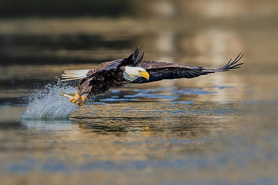 Eagle Photograph - Drag by Rob Li