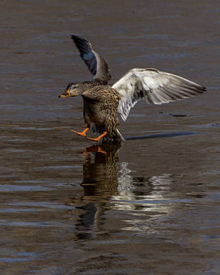 Ducks In Flight Photograph - Dragging Tail by Ernie Echols