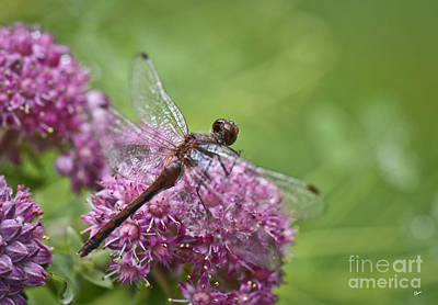 Photograph - Dragon Fly by Alana Ranney