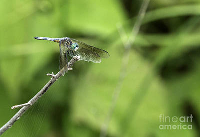 Photograph - Dragon Fly by David Waldrop