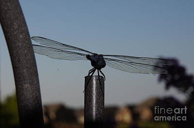 Nature Photograph - Dragon Fly by Megan Cohen