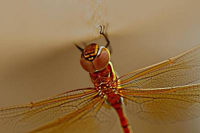 Photograph - Dragon Fly  by Ramabhadran Thirupattur