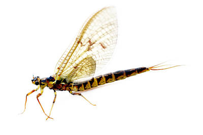 Dragon Fly Art Print by Tommytechno Sweden