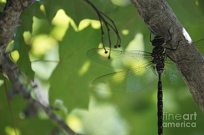 Faa Featured Photograph - Dragonfly by Zori Minkova