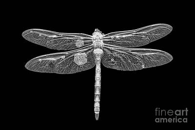 Damsel Fly Photograph - Dragon In Black by Todd Bielby