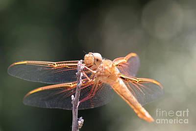 Dragon Fly Original