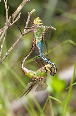 Photograph - Dragonflies Mating by Byron Jorjorian