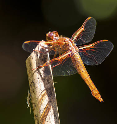 Photograph - Dragonfly 1 by Scott Gould