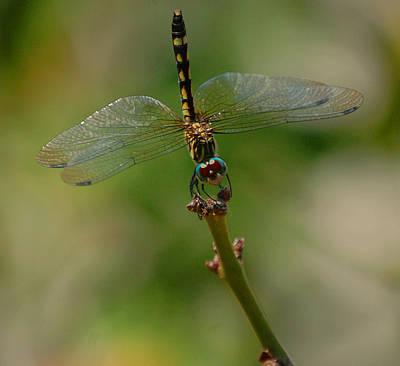 Photograph - Dragonfly 2 by Leticia Latocki