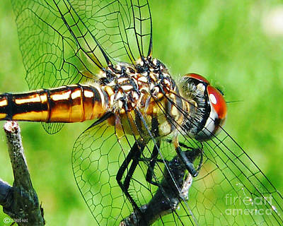 Photograph - Dragonfly 2 by Lizi Beard-Ward