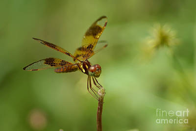 Art Print featuring the photograph Dragonfly 2 by Olga Hamilton
