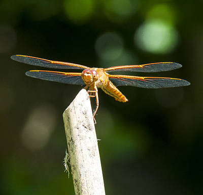 Photograph - Dragonfly 2 by Scott Gould