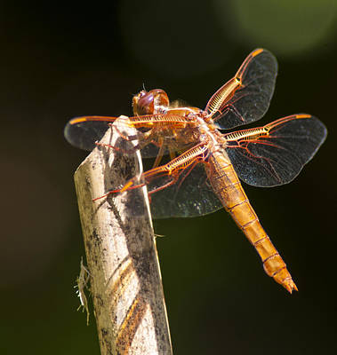 Photograph - Dragonfly 3 by Scott Gould