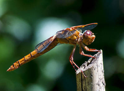 Photograph - Dragonfly 4 by Scott Gould