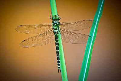 Dragon Fly Photograph - dragonfly Aeshna cyanea by Dirk Ercken