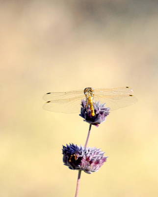 Print featuring the photograph Dragonfly by AJ  Schibig