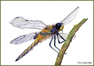 Demoiselles Painting - Hairy Dragonfly Of England by Alison Langridge
