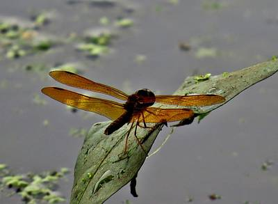 Dragonflys Photograph - Dragonfly And Leaf by Amy Maloney