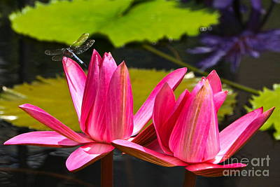 Photograph - Dragonfly And Water Lily Three by Byron Varvarigos