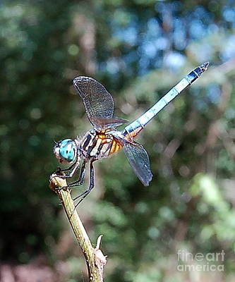 Photograph - Dragonfly Aqua 2 by Tamyra Crossley