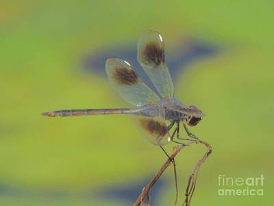 Photograph - Dragonfly At Rest by Audrey Van Tassell