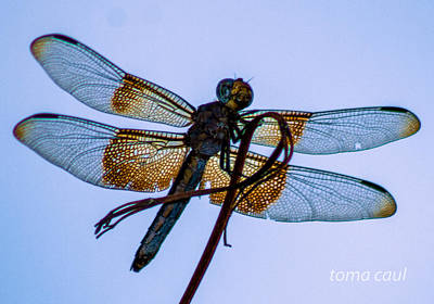 Dragonfly-blue Study Art Print by Toma Caul