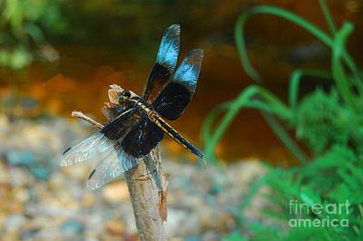 Photograph - Dragonfly Blue by Tamyra Crossley