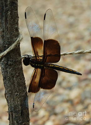 Photograph - Dragonfly Brown by Tamyra Crossley