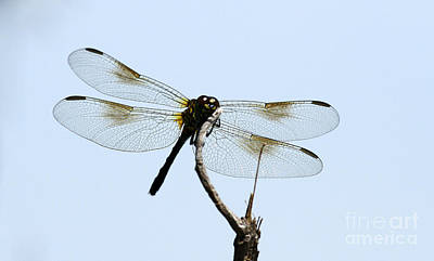 Photograph - Dragonfly by Butch Lombardi