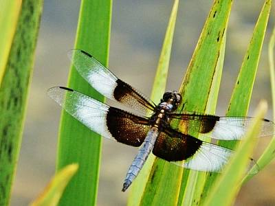 Photograph - Dragonfly By The Lake by VLee Watson