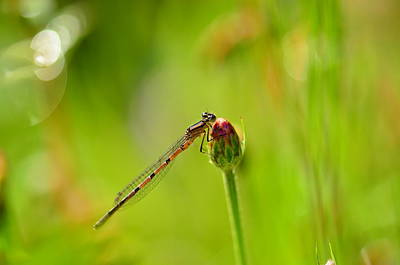 Ethereal - Dragonfly by Catalin Tibuleac