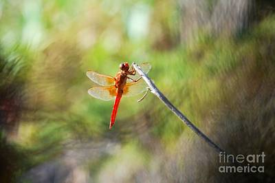 Photograph - Dragonfly  by Claudia Ellis