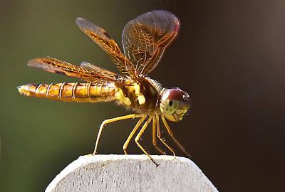 Photograph - Dragonfly Closeup by Jennifer Lycke