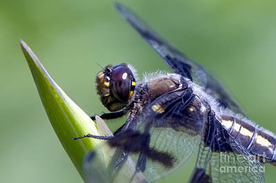 Photograph - Dragonfly Closeup by Sharon Talson