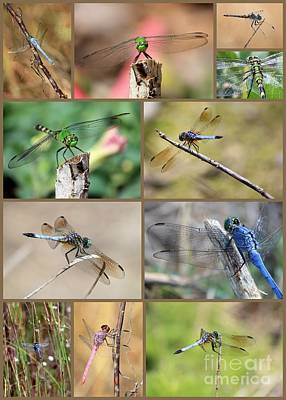 Blue Dasher Photograph - Dragonfly Collage 3 by Carol Groenen