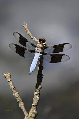 Photograph - Dragonfly Common Whitetail by Christina Rollo