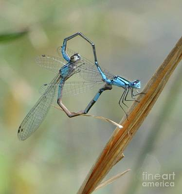 Photograph - Dragonfly Courtship by Amy Porter