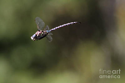 Photograph - Dragonfly by Alyce Taylor