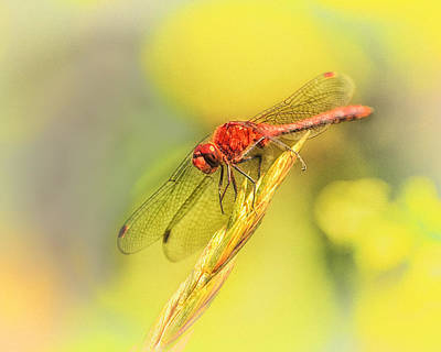 Dragonfly Photograph - Dragonfly Days by Susan Capuano
